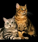 BROWN TABBY WITH SILVER TABBY DOMESTIC CAT AGAINST BLACK BACKGROUND