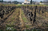 Wine grape vines in late winter in the Herault region of France.