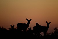 Red Deer Cervus elaphus hinds, herd silhouetted at sunset, during rutting season, Bradgate Park, Leicestershire, England, november