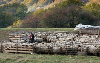 Domestic Sheep, communal flock, being marked by shepherd, at traditional sheep_fold, near Saschiz, Transylvania, Romania, october