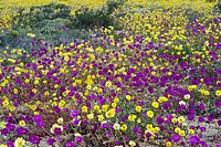 Pata de Guanaco Cistanthe longiscapa and Cistanthe litoralis mixed group, flowering in desert, Atacama Desert, Chile