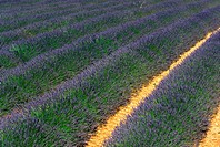 Field of lavender close to the Mont Ventoux