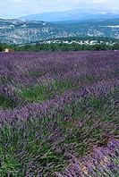 Lavender field close to the Mount Ventoux