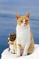 Europe, Greece, Cyclades, Santorini, Cats in the streets of Oia