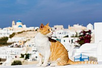 Europe, Greece, Cyclades, Santorini, Cat in the streets of Oia