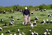 Hawaï , Midway , Sand Island , Laysan Albatross ,  Phoebastria immutabilis , count of the nests.