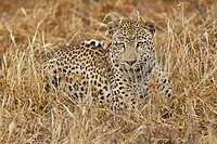 Africa, Namibia, Leopard lying in grass