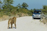 Africa, Namibia, Etosha National Park, Lion standing on dirt track with car in background