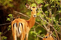 Impala (Aepyceros melampus) with a bird on its back at the Moremi Game Reserve in the Okavango Delta, Botswana
