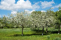 Apple meadow in the spring when the sun shines