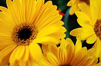 Close_up of yellow daisy flowers in bloom