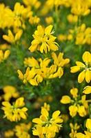 Provence broom Cytisus purgans