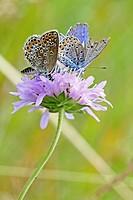 Silver-studded Blue, Plebejus argus  with Idas Blue, Northern Blue, plebejus idas, plebeius, Lycaeides idas, Butterflies on lavender scabious  Underwi...