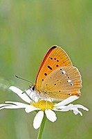 Scarce Copper, Lycaena virgaureae on daisy, Vicia hirsuta  Underwings with distinct markings  The white irregular line on back wing identifies it  The...