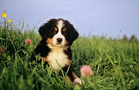 Bernese Mountain dog _ puppy sitting on meadow