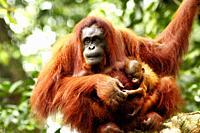 Orangutans. Semengoh Wildlife Centre, Sarawak, Malaysia