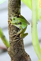 Motorbike Frog Litoria moorei adult, close-up, sarawak, borneo