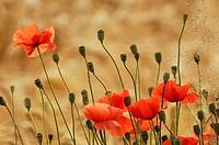 Poppies in a wheat field