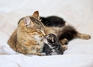 Mother kissing kitten