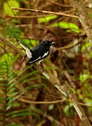 Oriental Magpie_robin Copsychus saularis ceylonensis adult male, with tail cocked, perched on branch, Sri Lanka, december