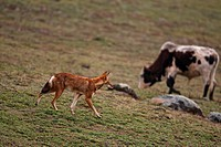 Ethiopian Wolf Canis simensis adult, walking on afro_alpine moorland, with domestic cattle grazing in background, Bale Mountains, Oromia, Ethiopia