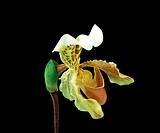 Orchid, Paphiopedilum insigne