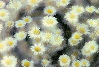 Oxeye daisy, oland, Sweden