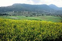 Mustard fields, Nepal