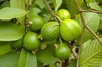 Guava, a Bangladeshi fruit Raipura, Norshindi, Bangladesh July 13, 2007