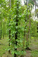 A betel leaf garden in Sangram Pungi, a Khashia village, near Jaflong in Sylhet district Betel leaf or ´paan´ is a tropical creeper belonging to the p...