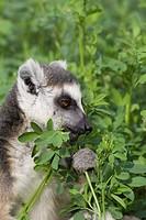 Ring_tailed Lemur