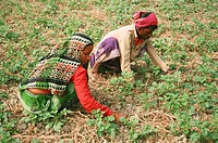 Farmers working at a potato field in Bikrampur, Bangladesh December 29, 2007
