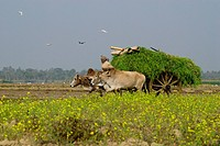 Bullock cart is used to carry crops and hay from the field at Court Chandpur Jhenaidah, Bangladesh January 2011