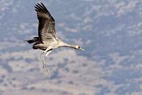 Spain , Aragon , Gallocanta lagoon , Crane  Grus grus  , Order : Gruiformes , family : Gruidae.