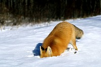 Adult red fox Vulpes vulpes digging for carrion under the snow, northern Saskatchewan, Canada