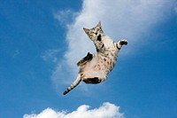 Flying brindle cat