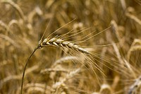 wheat or corn