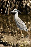 Yellow-crowned Night-heron - J N  Ding Darling National Wildlife Refuge - Sanibel Island, Florida USA