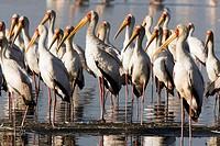 Yellow-Billed Storks - Lake Nakuru National Park, Kenya