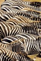 Zebra Patterns - Masai Mara National Reserve, Kenya