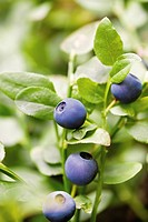 Close_up of bilberry fruits