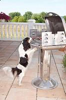 Cavalier, King, Charles, Spaniel, tricolour, stealing, piece, of, meat, from, barbecue, grill,