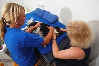 Cavalier, King, Charles, Spaniel, tricolour, having, physiotherapy, massage,
