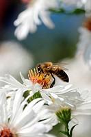 Bienen bei sammeln von Honig
