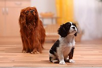 Cavalier, King, Charles, Spaniel, ruby, with, puppy, tricolour, 10, weeks,