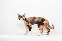 Devon, Rex, Cat, black_tortie_white, side,