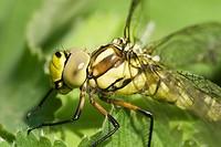 Big green Dragonfly very close _