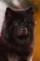 Eurasier, male,