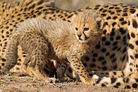 Cheetah Acinonyx jubatus - 40 days old male cub next to its resting mother  Photographed in captivity on a farm  Namibia