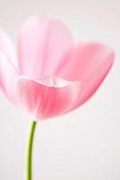 Delicate Tulip Flower